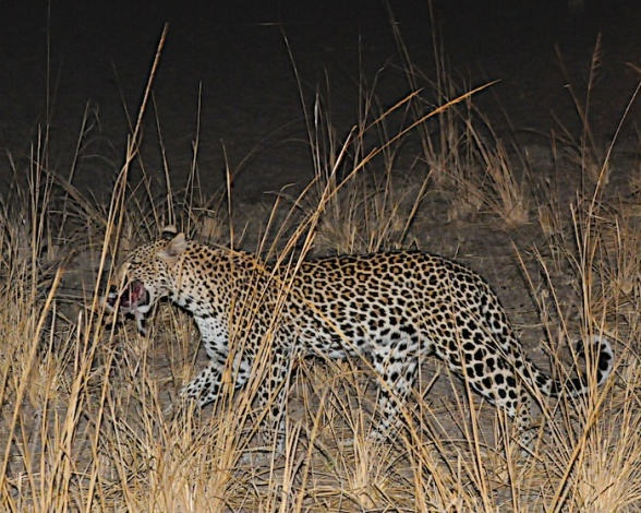 Stalking our first leopard