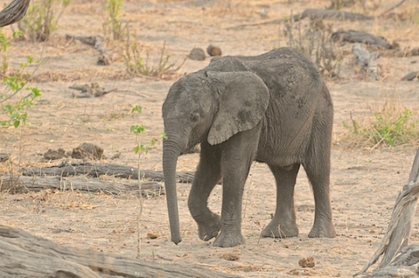 Baby elephant so dehydrated