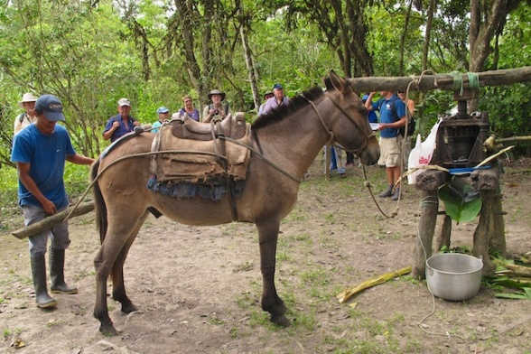 The mule provides the power to grind the sugar cane