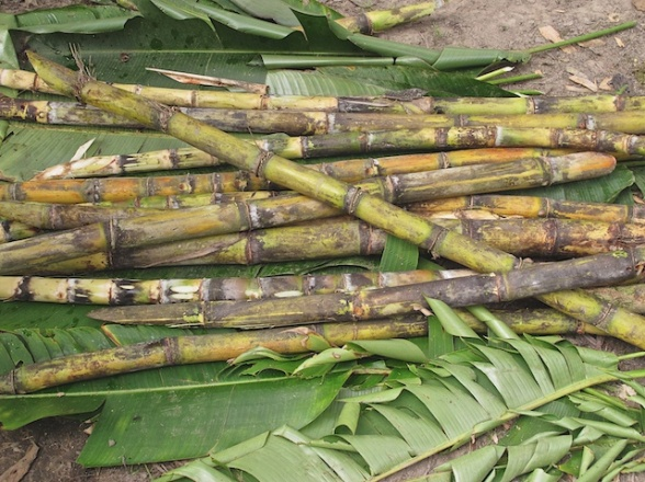 Raw sugar cane ready for the grinder