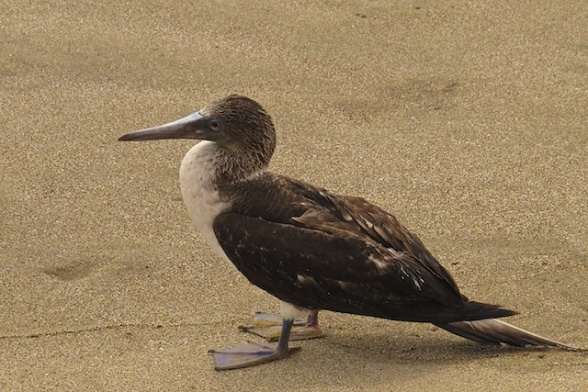 Young blue footed booby we found on the beach.  Not far from the Galapagos