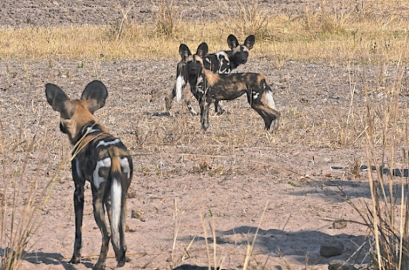 Wild Painted Dogs
